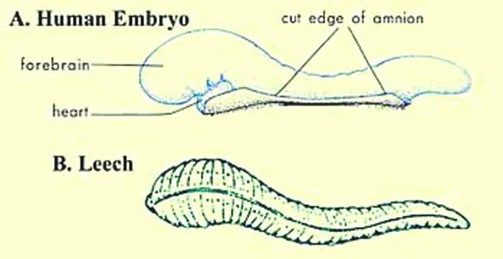 Рис. 1. Рисунки, иллюстрирующие внешнее сходство пиявки и человеческого эмбриона на стадии алаки. (Рисунок пиявки: Мур и др. Развитие человека в трактовке Корана и Сунны. Стр. 37; модифицированный: Хикман. Интегрированные принципы зоологии; рисунок эмбриона: Мур и Персо. Развивающийся человек. Изд. 5-е. С. 73)