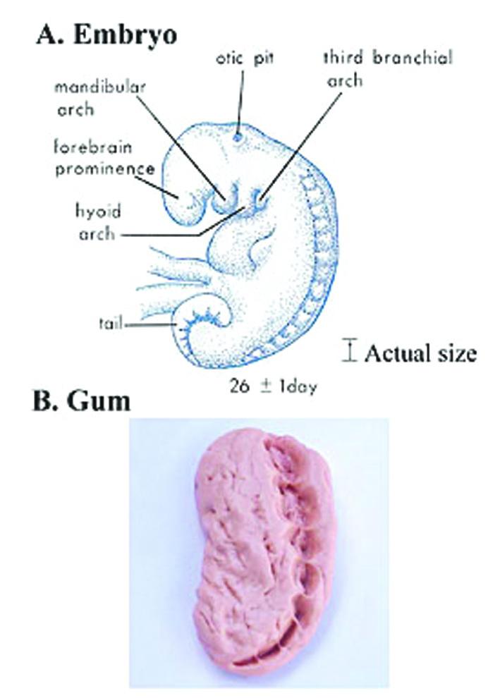 Рис. 6. Зародыш на стадии мудхаха внешне напоминает пожёванную жевательную резинку. А) Изображение эмбриона на стадии мудхах. Сомиты, расположенные в спинной части эмбриона, выглядят как отпечатки зубов (Мур и Персо. Развивающийся человек. Изд. 5-е. Стр. 79). Б) Снимок жевательной резинки.