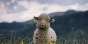 Жертвенное мясо раздадут семьям в Ингушетии